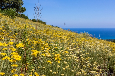 olivier gomez,photographe corse,mardys garden,immortelle