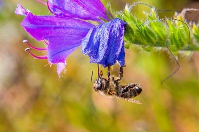 olivier gomez,photographe corse,abeille