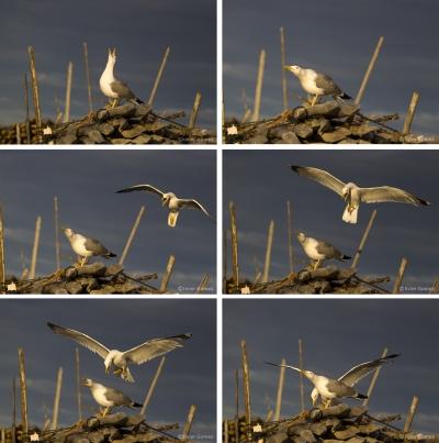 Oiseaux Bouzigues.jpg