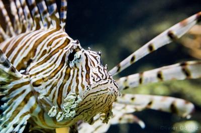 olivier gomez,phographe corse,rascasse volante,aquarium,nausicaa,boulogne sur mer