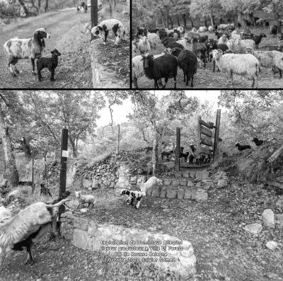 olivier gomez,photographe corse,berger,eleveur,producteur,brebis,agneaux,lait,fromage,oti,ile rousse,balagne