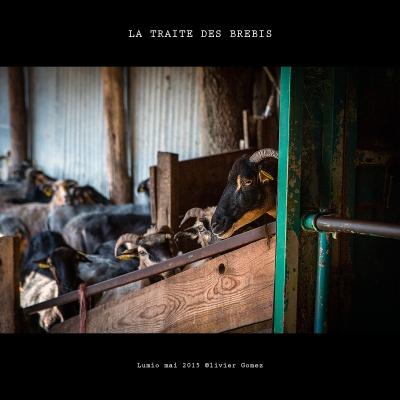 olivier gomez photographe corse traite brebis lumio balagne