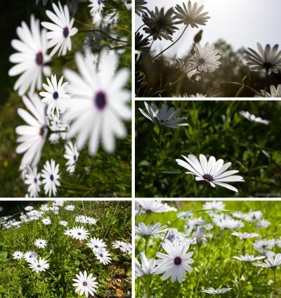 Margueritesblog.jpg